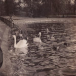 London – swans on lake