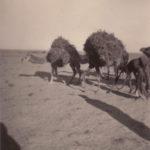 camels loaded