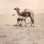 camels with baby